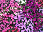 Flowers Pink Purple Red
