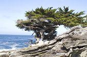 Monterey Cypress 2