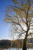 stock photo of knoxville tennessee  - Flowering Willow tree in early spring along the Tennessee River - JPG