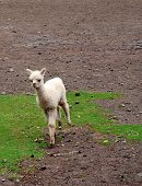 pic of alpaca  - A baby alpaca running over grass and rocks - JPG