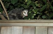 foto of possum  - A lone possum sitting on the fence - JPG