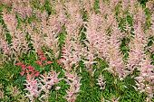 Lots Inflorescences Of Pink Astilbe