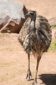 Emu (dromaius Novaehollandiae) Is The Largest Bird Native To Australia