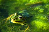 stock photo of lurch  - Frog portrait Wild dirty frog photo - JPG