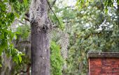 picture of tillandsia  - The famous spanish moss hanging on the oaks of Savannah - JPG