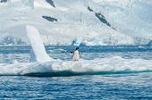 picture of iceberg  - Gentoo penguins standing on an iceberg Antarctica - JPG