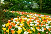 foto of rockefeller  - A carpet of bright yellow white and pink - JPG