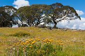 stock photo of bogong  - Summer daisies on the Bogong High Plains - JPG