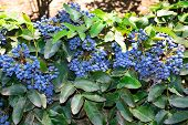 stock photo of aquifolium  - A bush branches with ripe fruits of Mahonia aquifolium - JPG