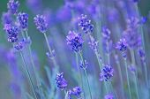 Nature backgrounds - lavender