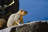 Squirrel Perched Attentively On A Rock