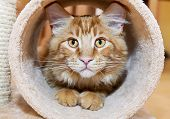 picture of coon dog  - Maine Coon Kitten playing in tube of scratching post - JPG