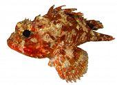 Scorpionfish isolated on white background