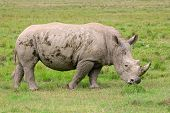 Young white rhinoceros (Ceratotherium simum), Lake Nakuru National Park, Kenya