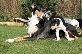 stock photo of bitch  - Bitch of Collie Smooth with its puppies lying in nice garden - JPG