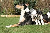 foto of bitches  - Bitch of Collie Smooth with its puppies lying in nice garden - JPG