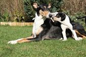 picture of bitch  - Bitch of Collie Smooth with its puppies lying in nice garden