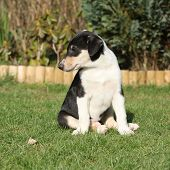 Gorgeous Puppy Of Collie Smooth In The Garden