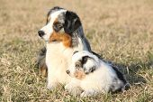 Beautiful Australian Shepherd Dog With Its Puppy