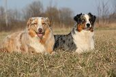 Gorgeous Australian Shepherd Dogs In Nature
