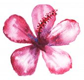 Watercolor painting of mulberry flower.