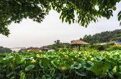 picture of shacks  - White lotus flower pond with a wooden shack - JPG