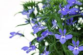 picture of lobelia  - A sprig of blue lobelia on a white background.