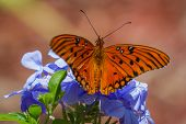 stock photo of florida-orange  - close up of a beautiful orange butterfly feeding on spring blue flowers in a garden