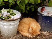 red tabby cat resting between two buckets of garbage