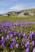 picture of velika  - Beautiful spring crocuses on Velika Planina plateau in Slovenia - JPG