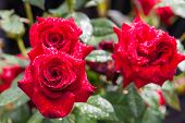 red roses in garden after rain