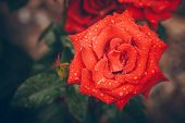 Beautiful rose bud after rain