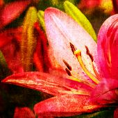 Beautiful pink lily close up