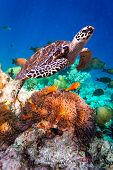 picture of hawksbill turtle  - Hawksbill Turtle  - JPG