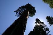 Redwood Tree Perspective