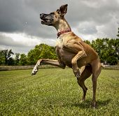 Great Dane leaping