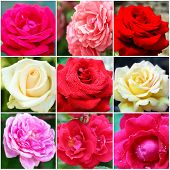 Collage of beautiful roses, close-up