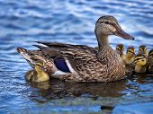 Mallard Duck (anas Platyrhynchos) And Her Ducklings