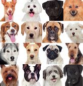 Collage with many dogs isolated on a white background