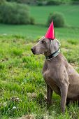 birthday dog with a red hat