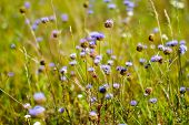 Image Of Blue Wildflowers Growing In The Grass