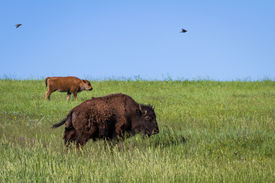 image of female buffalo  - mother and baby buffalo or Bison roaming in the grasslands of South Dakota - JPG