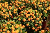 yellow citrus oranges grow on tree