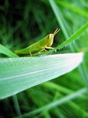 Grasshopper in the middle of green