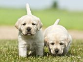 2 puppies Labrador