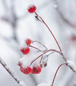 image of rowan berry  - Red Rowan Berries Covered With Fresh Snow - JPG
