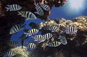 stock photo of damselfish  - School of Sergeantmajor Red Sea - JPG