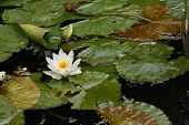White water lily (Nymphaea nouchali), also known as the star lotus.