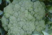 Large Broccoli