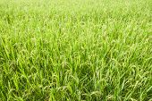 Rice Field Background